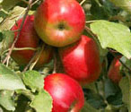 Sun ripened apples