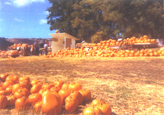Early Barlogio Pumpkin Stand Jack Creek Road